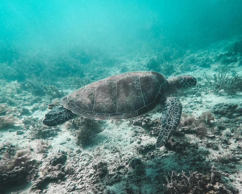 Turtle Philippines